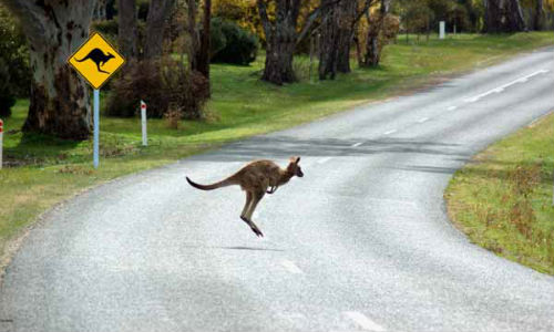 Volvo's Large Animal Detection doesn't work for kangaroos, apparently, due to the animals' unique method of locomotion. The company is currently working on a solution.
